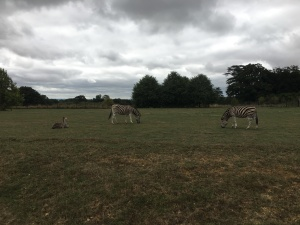 New zebra foal at Cotswold Wildlife Park